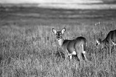 Whats Up! (1918Bob) Tags: doe deer whitetail bigmeadows foma shenandoahnationalpark caffenolccl