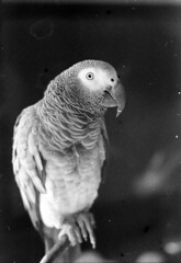 zelda vintage (eva8*) Tags: pet bird film parrot zelda expired cag africangray oldfilm notinstragram