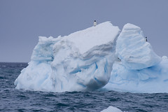 Antarctica - Day Two0321 (GLRPhotography) Tags: brown penguin antarctica iceberg bluff adelie 100400