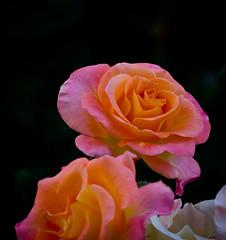 Happy to be here today. (Omygodtom) Tags: park pink orange white detail macro art nature rose oregon n
