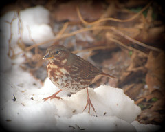 First Fox Sparrow gracing the first snowfall (hickamorehackamore) Tags: winter snow backyard december connecticut wildlife ct feeder sparrow habitat certified nwf foxsparrow passerellailiaca sunflowerseeds haddam