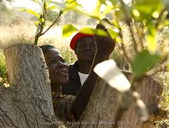 mango grafting (Arjen P van de Merwe) Tags: orchard mango agriculture grafting export graft inspect africamalawi