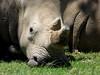 White Rhino - resting (marina0102) Tags: africa white rhino mygearandme mygearandmepremium mygearandmebronze mygearandmesilver