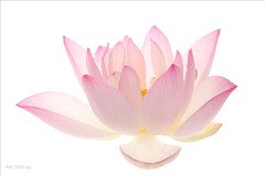 Lotus Flower (Bahman Farzad) Tags: flower yoga peace waterlily lotus relaxing peaceful meditation therapy