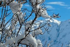 Neige d'hiver en montagne (La Pom ) Tags: ski alpes hiver noel neige savoie sapin haute combloux megve poudreuse giettaz motagne