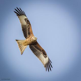 Milvus milvus - Red Kite