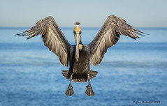 Coming At You (Amy Hudechek Photography) Tags: california bird flight lajolla pelican landing getty brownpelican gettyimages happyphotographer avianexcellence mygearandme mygearandmepremium mygearandmebronze mygearandmesilver mygearandmegold mygearandmeplatinum mygearandmediamond amyhudechek