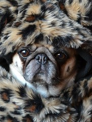 Pug In Leopard (DaPuglet) Tags: pug pugs leopard dogs animals winter costume animal pet dog pets leopardprint fauxfur artofimages coth5