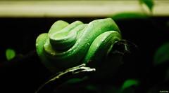 green (pontfire) Tags: pythonemeraude greentreepython snake schlange slange serpiente φίδι ヘビ slang wąż змея green vert conrắn macro animal animaux serpent reptil reptile reptilia moreliaviridis pythonidae python arboricole pythonarboricolevert australia australie pontfire biotropica normandie normandy hautenormandie départementdeleure 27 eure poses