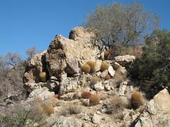 Ferocacuctus cylindraceus, Wonderland of Rocks (Joshua Tree National Park) Tags: california cacti nationalpark desert joshuatree joshuatreenationalpark ferocactuscylindraceus