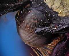 Dicranocephalus wallichi bourgoini (_papilio) Tags: macro canon invertebrate canonmpe65mm papilio arthropod 6d