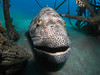 Our resident giant grouper wants to be your dive buddy (Camel Dive Club) Tags: grouper fishid naamabay