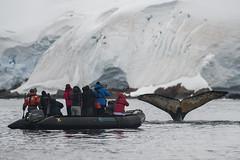 Antarctica 250 (Morten Skovgaard) Tags: travel snow cold ice expedition nature animals penguin penguins wildlife antarctica adventure seal seals iceberg zodiac polar rare plancius southpole antarktis sydpolen mortenskovgaard oceanwideexpeditions godknd