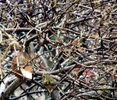 Goldcrest in Our Garden..! (carlene byland) Tags: bird garden coconut feeder buds twigs goldcrest viburnum kettering