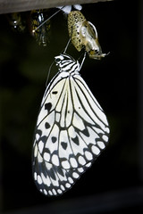 Rice Paper with Chrysalis (andrew.schram) Tags: animal butterfly insect nikon niagara d90