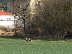 P3200358 Es gibt sie noch - Hasen in Urberach (oder sind es doch Kaninchen?) (fotoculus) Tags: germany deutschland spring hare hessen himmel alemania tyskland allemagne alemanha duitsland frhling hasen rdermark niemcy rheinmaingebiet urberach primaverde