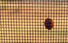 Just Hangin' Around (R.F. Lupo (random off and on-ness, more off)) Tags: winter outside screen ladybug