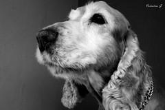 Dark (ValeG.87) Tags: dog love cane dark photography photo foto coker fotografia amore mydog cani cokerspaniel tenerezza ilmiocane