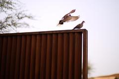 Pigeon Love ( Wandering Cloud) Tags: leica bird 50mm desert pigeon wildlife noctilux rasalkhaimah banyantree f095 alwadi sonya7r