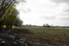 Berenbosteler See_074 (inextremo96) Tags: lake germany see swan felder hannover gelb schwan raps cygne canola rapeseed niedersachsen colza cygnus cigno berenbostel garbsen llowersaxony