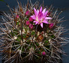 Neoporteria wagenknechtii (nolehace) Tags: sanfrancisco flower spring bloom 514 wagenknechtii neoporteria nolehace fz35