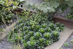 _VLJ7919 (Viveka's photos) Tags: new wood york garden high line september euphorbia spurge perennial gardendesign amygdaloides euphorbiaamygdaloides woodspurge törel perenner