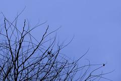winter branches (Bullarabs) Tags: blue trees winter black tree lens branches victoria tamron 90mm hue minimalist bendigo d7100 mimiman
