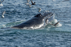2015 July Cape Cod humpback feeding (quiinc) Tags: capecod whales whalewatch barnstable hyanniswhalewatch capecodwhalewatch