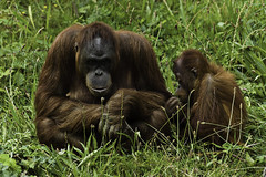 Mother & Baby, Orang-outang, Jersey Zoo (Paul E. Dyer) Tags: travel summer holiday tourism 2004 nature animal animals mammal outdoors zoo nikon holidays d70 outdoor wildlife naturalhistory tokina gerald orangutan jersey mammals orangoutang 80400mm jerseyzoo f4556 durrel 8004000mmf4556