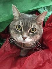 Ruby under the Christmas tree (sctatepdx) Tags: ruby cat kitty tabbycat tabby graytabby graycat