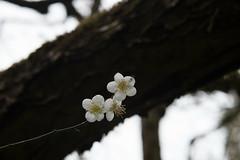 DSC_1183 (chenjn) Tags: d600 nikon 2470mm 妖怪村 柳家梅園 taiwan 信義鄉 梅花