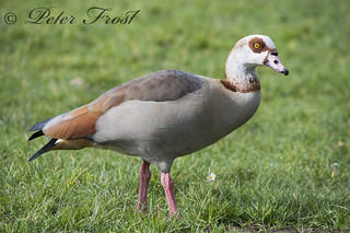 Egyptian Goose PS