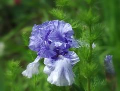 Iris bleu bicolore (mamietherese1) Tags: earthmarvels50earthfaves fantasticnature phvalue macroflowerlovers