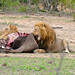 Lion (Panthera leo) and cub eating some buffalo meat ...