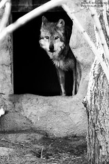 Mexican Grey Wolf at El Paso, Tx Zoo (ruben_regalado_photography) Tags: wolf wild wildanimal animallover animalover mexicangreywolf animalinstincts watching hunting