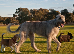 Galahad (Bookend Wrangler) Tags: dog beagle dogs scottie scottishterrier wolfhound irishwolfhound