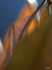 Raising the dead (setoboonhong) Tags: morning sunlight macro nature leaf veins withered stomata