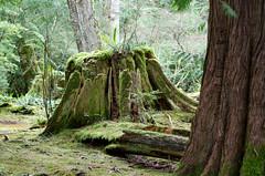 Tree Stump (Digital Biology) Tags: tree washington moss nikon stump bainbridgeisland bloedel