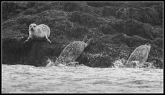 Run Away! (Donald Noble) Tags: sea seaweed skye beach water animal fauna landscape mammal scotland boat marine wildlife canoe seal algae ord seashore sleat