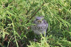 Baby Mockingbird (lit t) Tags: mockingbird babymockingbird