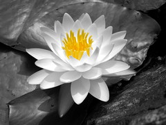 white water lily at the Jeongdok library in Seoul (thinklogically) Tags: bw nokia blackwhite waterlily gimp n8 manipulate distinguishable nokian8