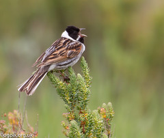 Male Reed Bunting (Danny Gibson) Tags: male nature birds outdoors wildlife birding naturereserve redd birdwatching birder avian bunting rspb rspbtitchwell dgpixorguk