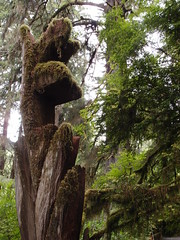Trees of Mistery, Redwoods (Dlp-o-Rama) Tags: california trees usa redwood redwoods westcoast treesofmistery