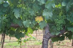 Green Grapes in Napa / Yountville (takasphoto.com) Tags: california vineyard nikon unitedstates wine vine winery valley napa uga fullframe fx uva grape grapevine vino wineries  mahats d600 weintraube   rva zm  weimer   ram viiniryple groe rezin vinstok   grawnwin viinamari druiwe  vinbero wiitrybel  wnberge    hohphaheme