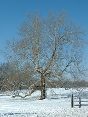 My Favorite Tree (Ela Lorian) Tags: winter snow tree fence branches