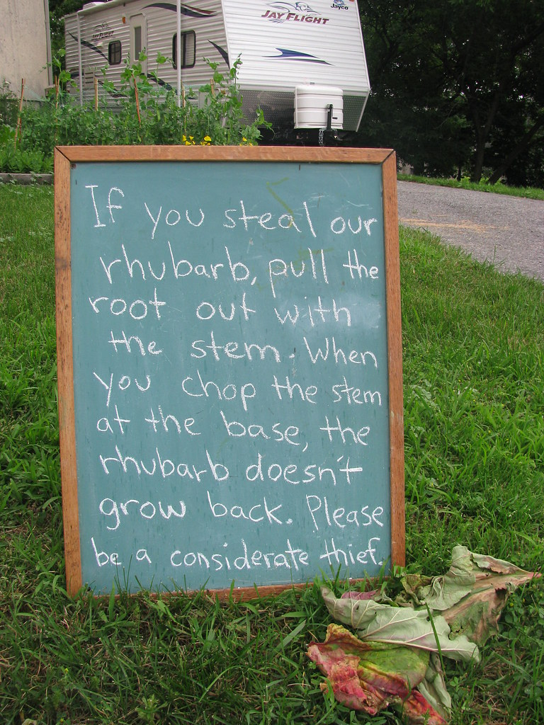 If you steal our rhubarb, pull the root out with the stem. When you chop the stem at the base, the rhubarb doesn't grow back. Please be a considerate thief.