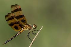 halloween pennant (explored 7/3/2013) (robert salinas) Tags: austin dragonflies sigma odonata a57 hornsbybend
