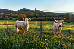 Donde est la vaca de milka? (Mimadeo) Tags: sunset summer two sky brown green nature field grass animal rural fence mammal cow milk spain looking cows outdoor farm beef country farming meadow horns pasture horn agriculture livestock bovine basquecountry