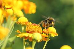 Bltenwechsel (Eisregen87) Tags: fly bumblebee blte luft biene hummel fliegen flgel