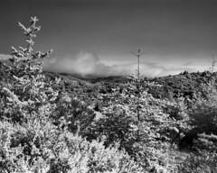 Dipsea Trail (Rodney A. Johnson) Tags: california trees blackandwhite bw 120 film rollei mediumformat ir landmark trail muirwoods 400 infrared epson 6x7 xtol filmphotography mamiya7 dipsea sekonic v750 80mmplanar ir400 rg715 rolleiinfraredir400 l778